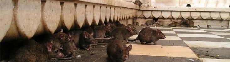 Schädlingsbefall durch Ratten